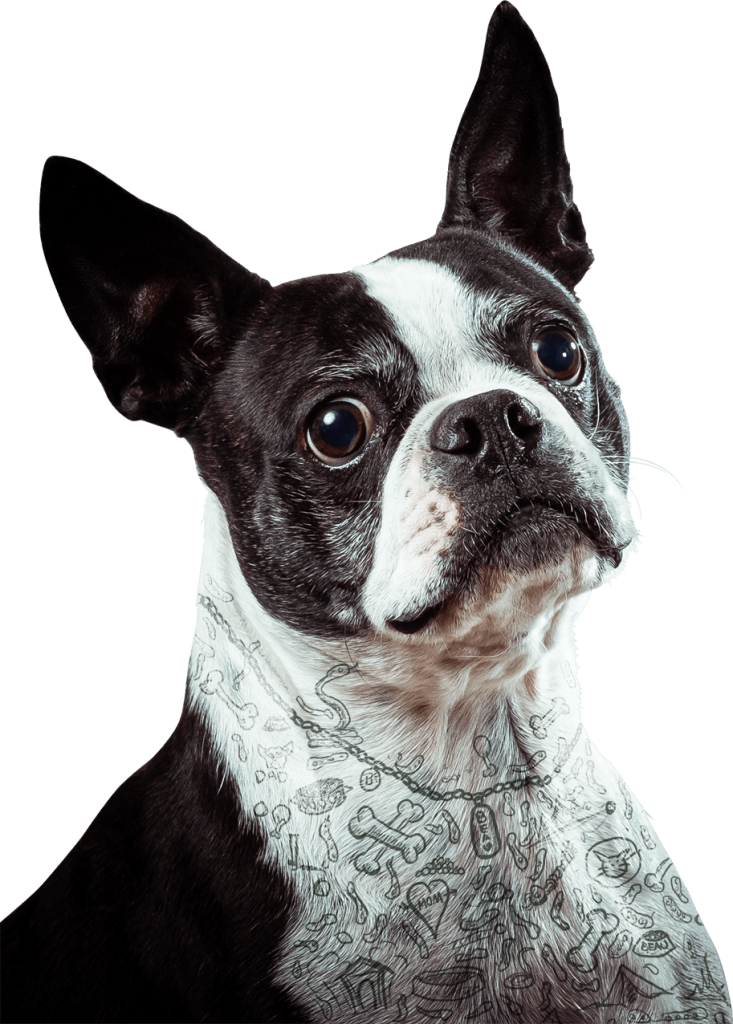 Boston Terrier Beau